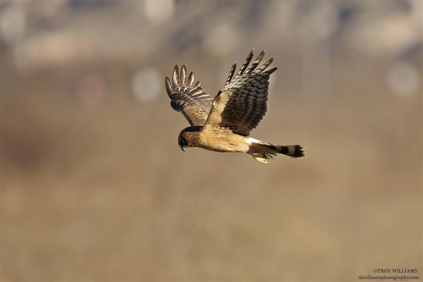 NORTHERN HARRIER - FRISCO TX
