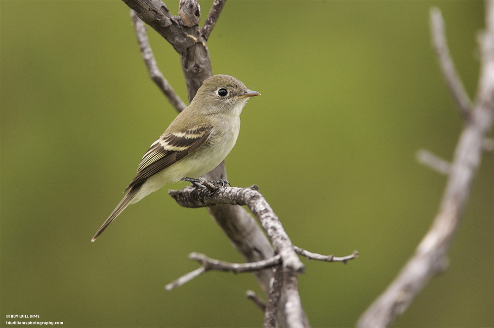 LEAST FLYCATCHER - CHRISTMAS MOUNTAINS TX
