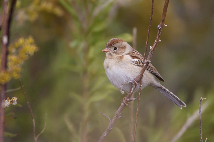 FIELD SPARROW - TRINITY RIVER AUDUBON CENTER NOV.2010