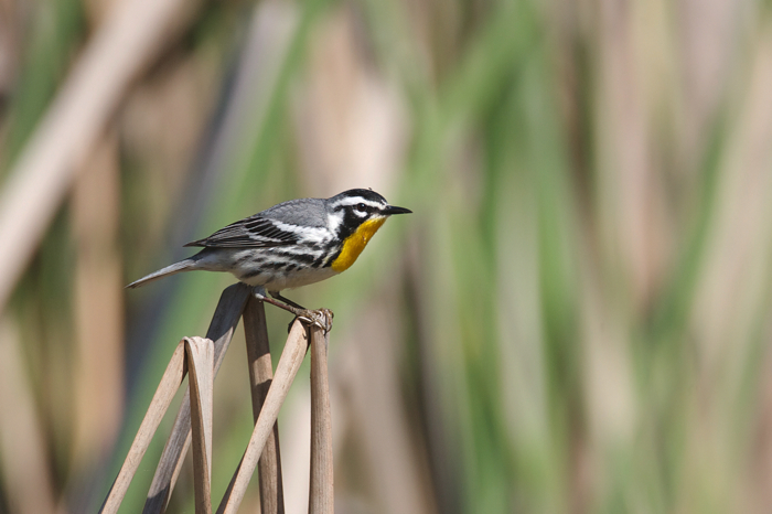 YELLOW-THROATED WARBLER - HIGH ISLAND TX