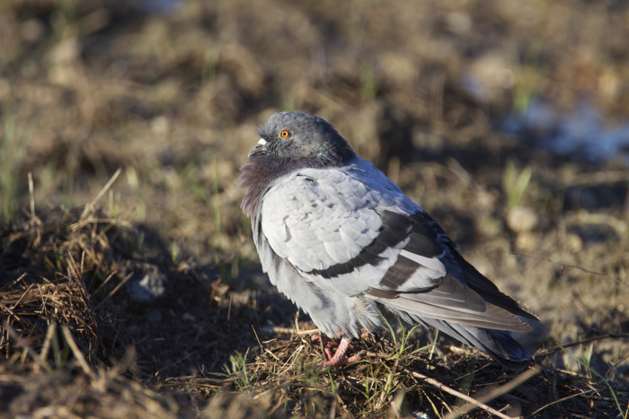 ROCK DOVE (FERAL PIGEON) - HAGERMAN NWR