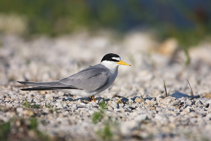 LEAST TERN - HAGERMAN NWR 2010