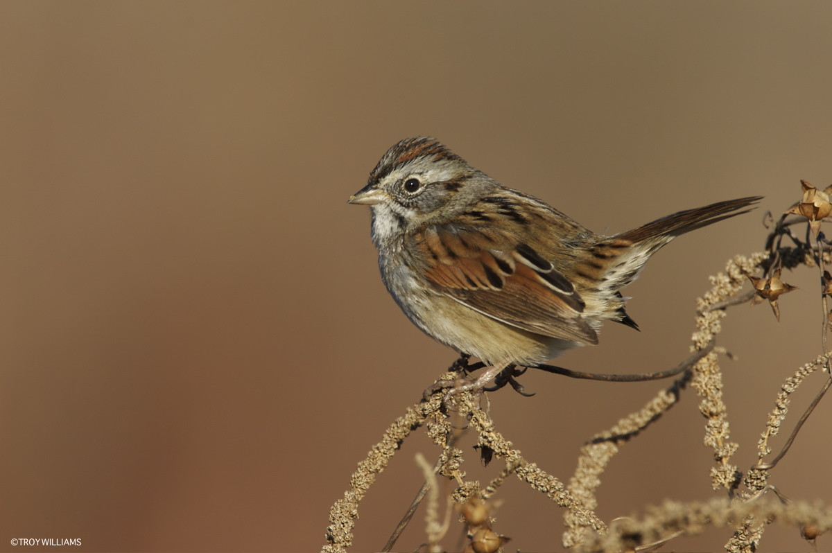 SWAMP SPARROW - LITTLE ELM TX