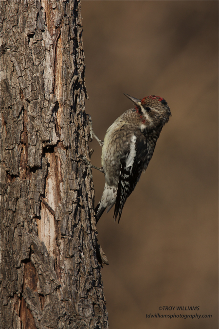 YELLOW-BELLIED SAPSUCKER - HAGERMAN NWR
