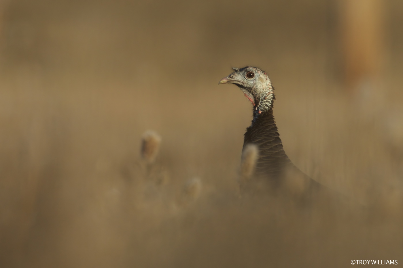 WILD TURKEY - HAGERMAN NWR