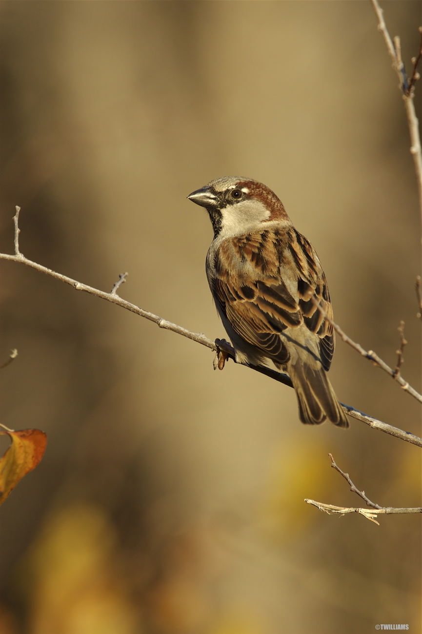 HOUSE SPARROW - LITTLE ELM TX