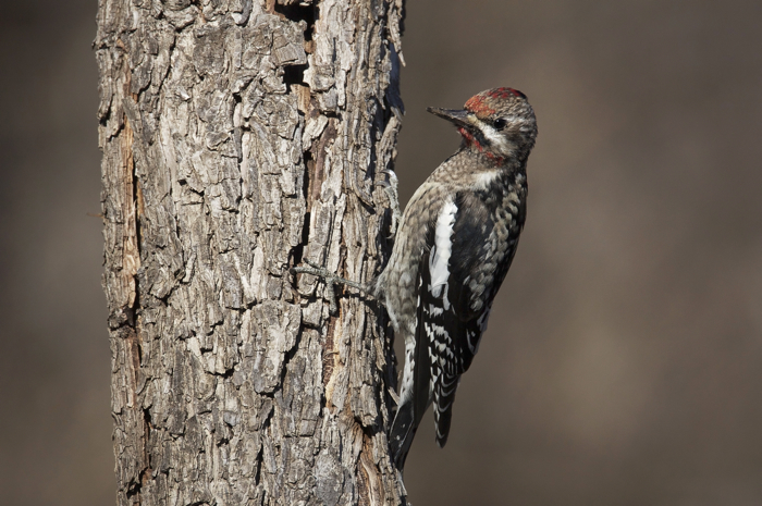 YELLOW-BELLIED SAPSUCKER - HAGERMAN NWR TX