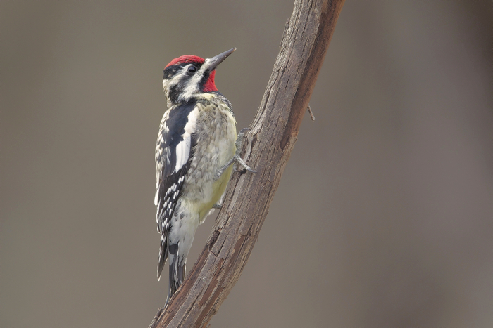 YELLOW-BELLIED SAPSUCKER - HAGERMAN NWR TX MAR.2011
