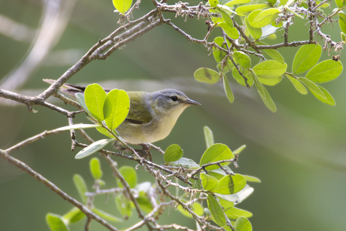 TENNESSEE WARBLER - CIBOLO TX MAY.2011