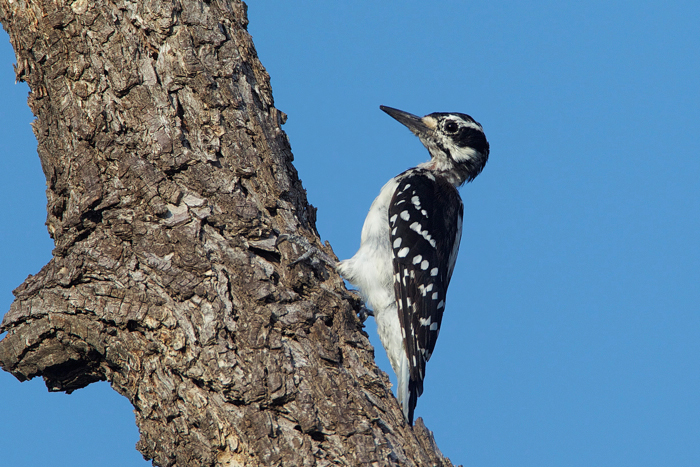 HAIRY WOODPECKER - HAGERMAN NWR TX AUG.2011