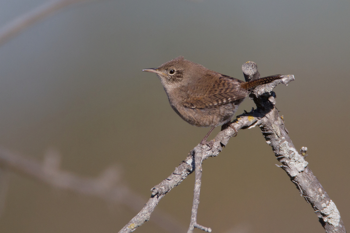 HOUSE WREN - HAGERMAN NWR TX OCT.2011