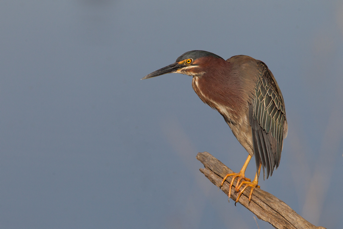 GREEN HERON - HAGERMAN NWR TX  MAY 2012