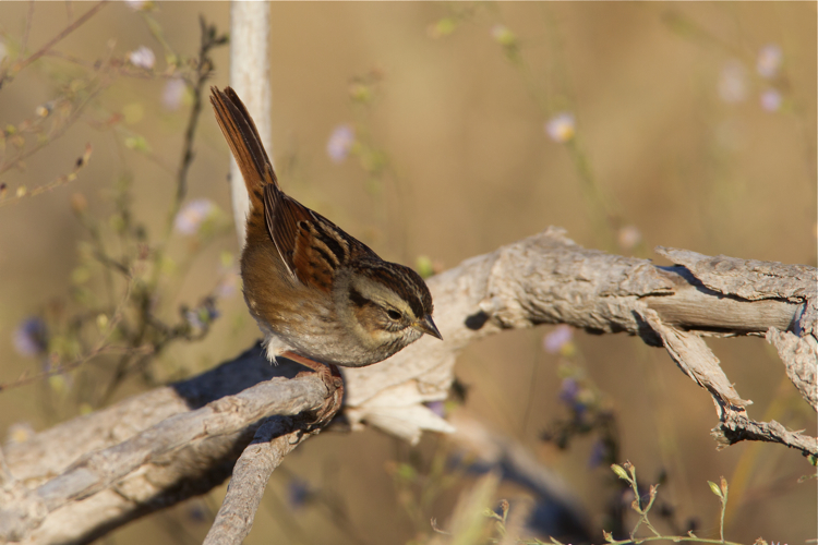 SWAMP SPARROW - HAGERMAN NATIONAL WILDLIFE REFUGE OCT.2012