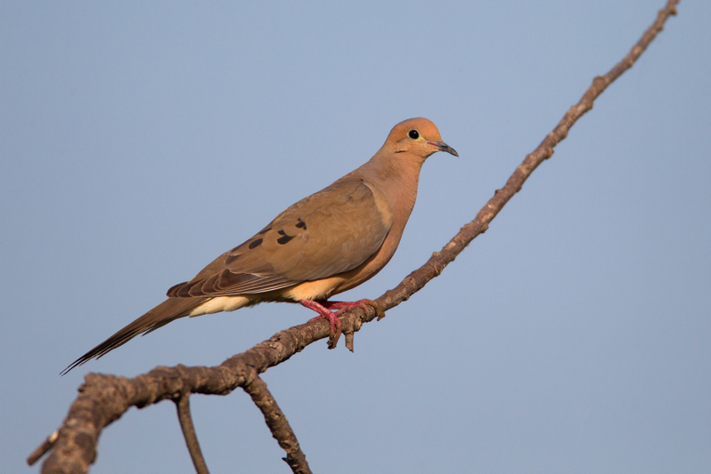 MOURNING DOVE - HAGERMAN NATIONAL WILDLIFE REFUGE TX JUNE, 2013