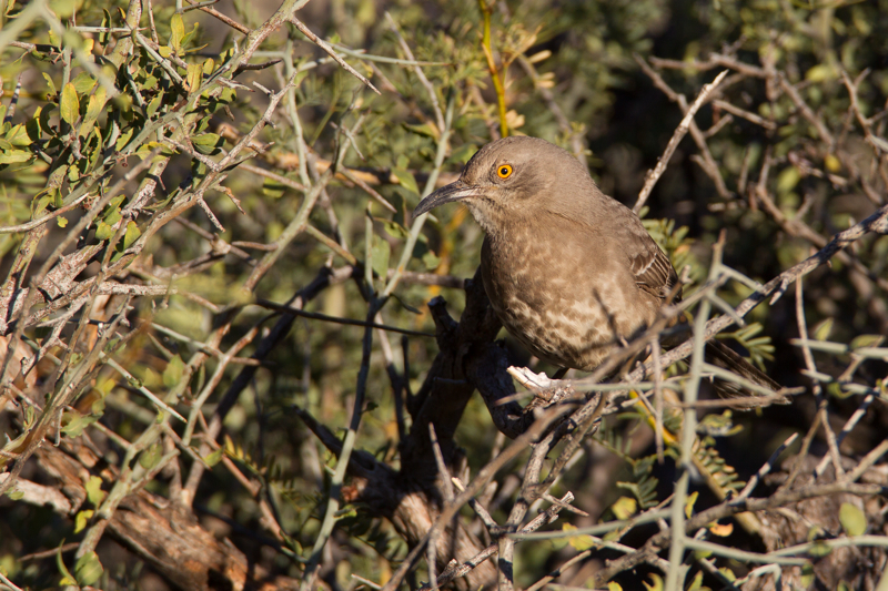 CURVE-BILLED THRASHER - BREWSTER COUNTY