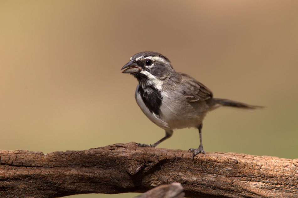 BLACK-THROATED SPARROW - Kimble County Texas