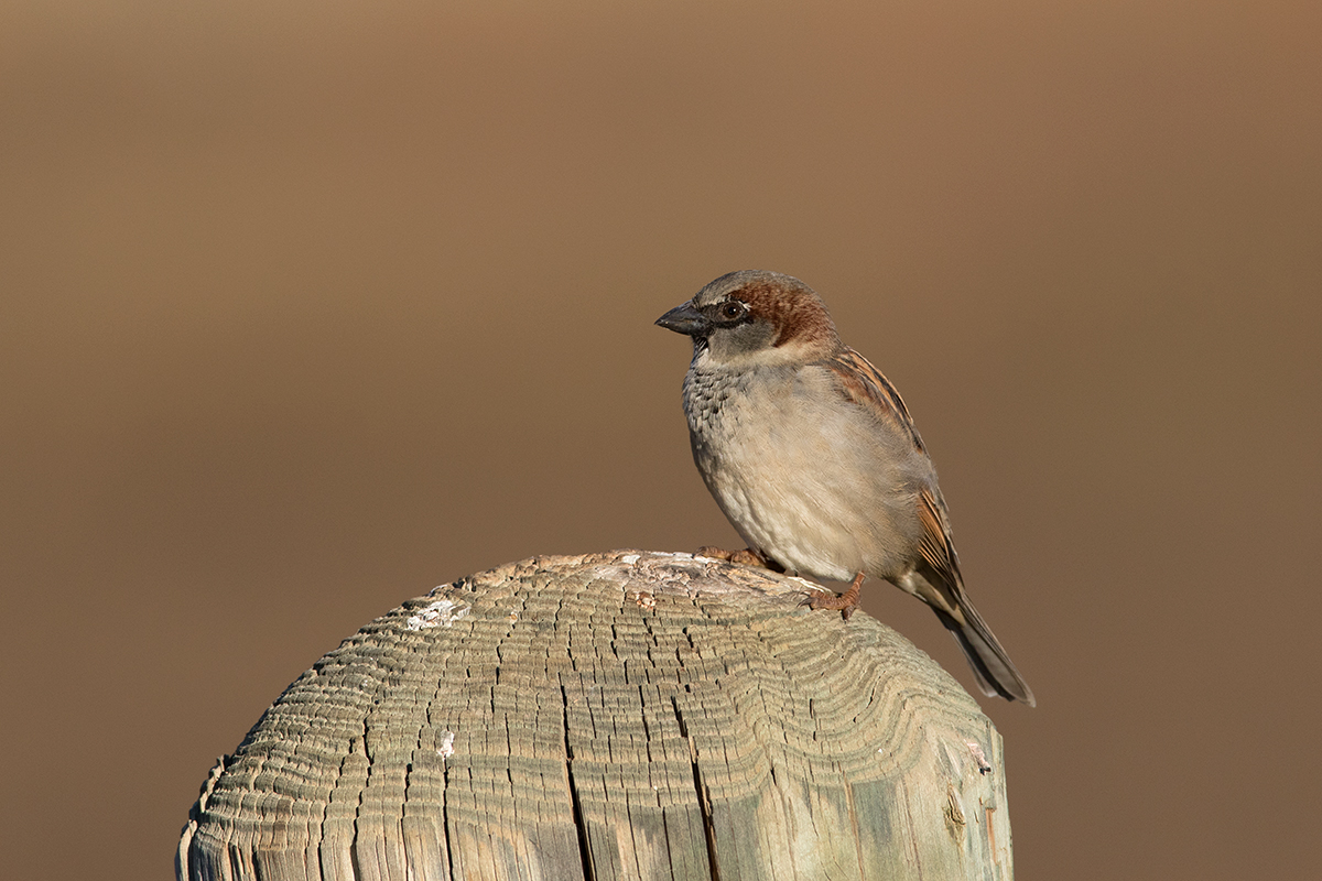 HOUSE SPARROW - Taylor County Tx