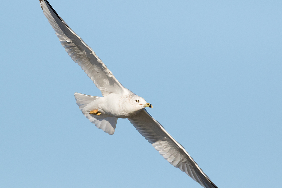 RING-BILLED GULL - Taylor County Tx