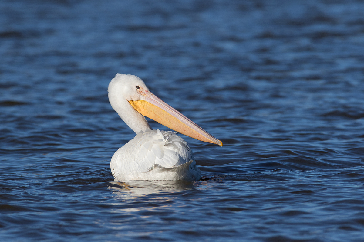AMERICAN WHITE PELICAN - Taylor County Texas