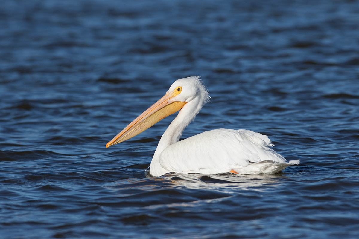 AMERICAN WHITE PELICAN - Taylor County Tx
