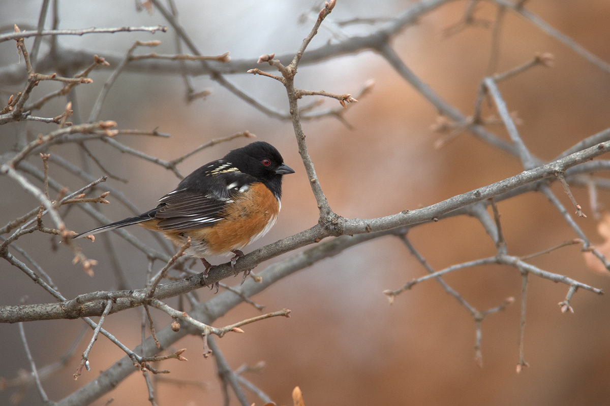 SPOTTED TOWHEE - Comanche County OK
