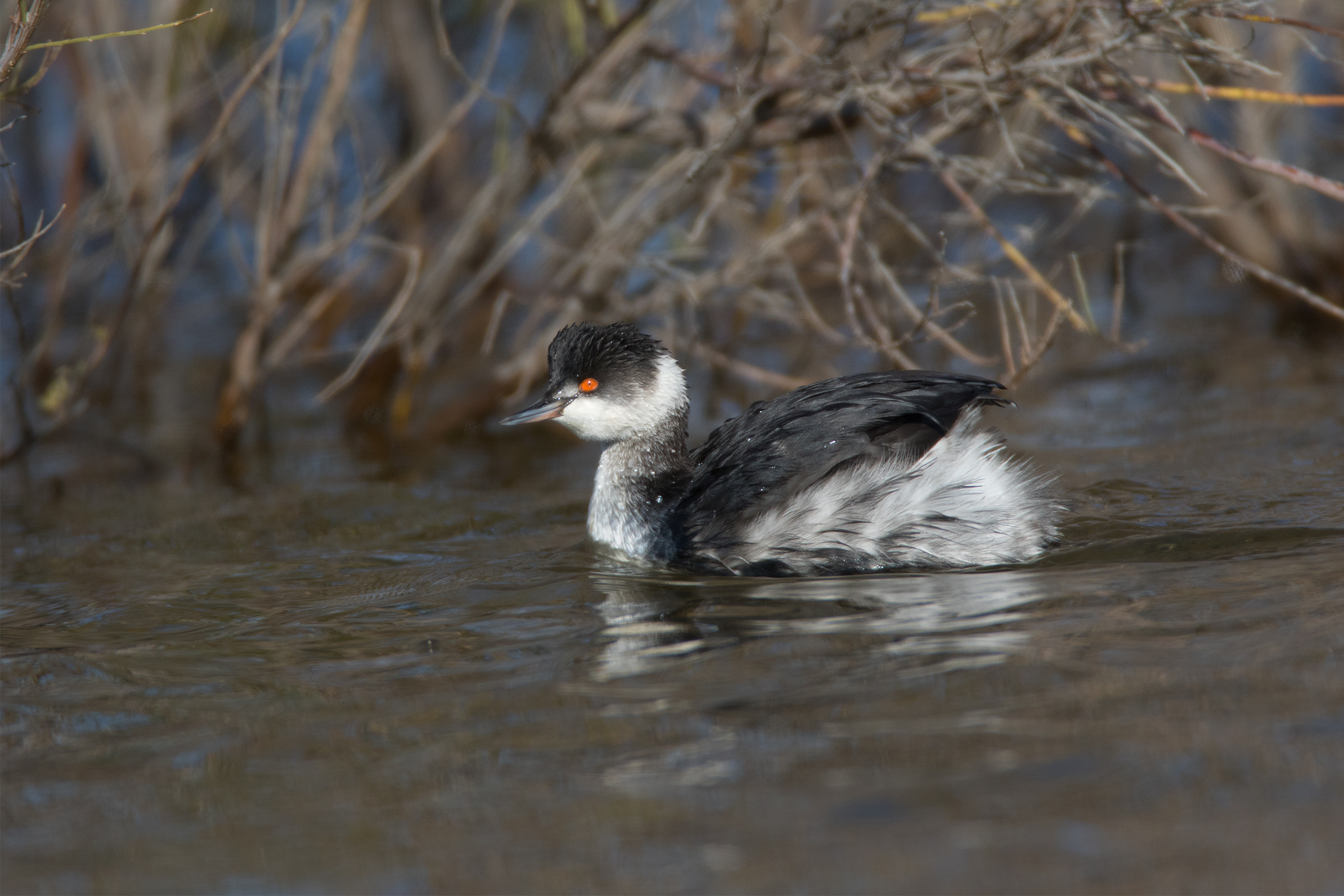 EARED GREBE - Taylor County Tx