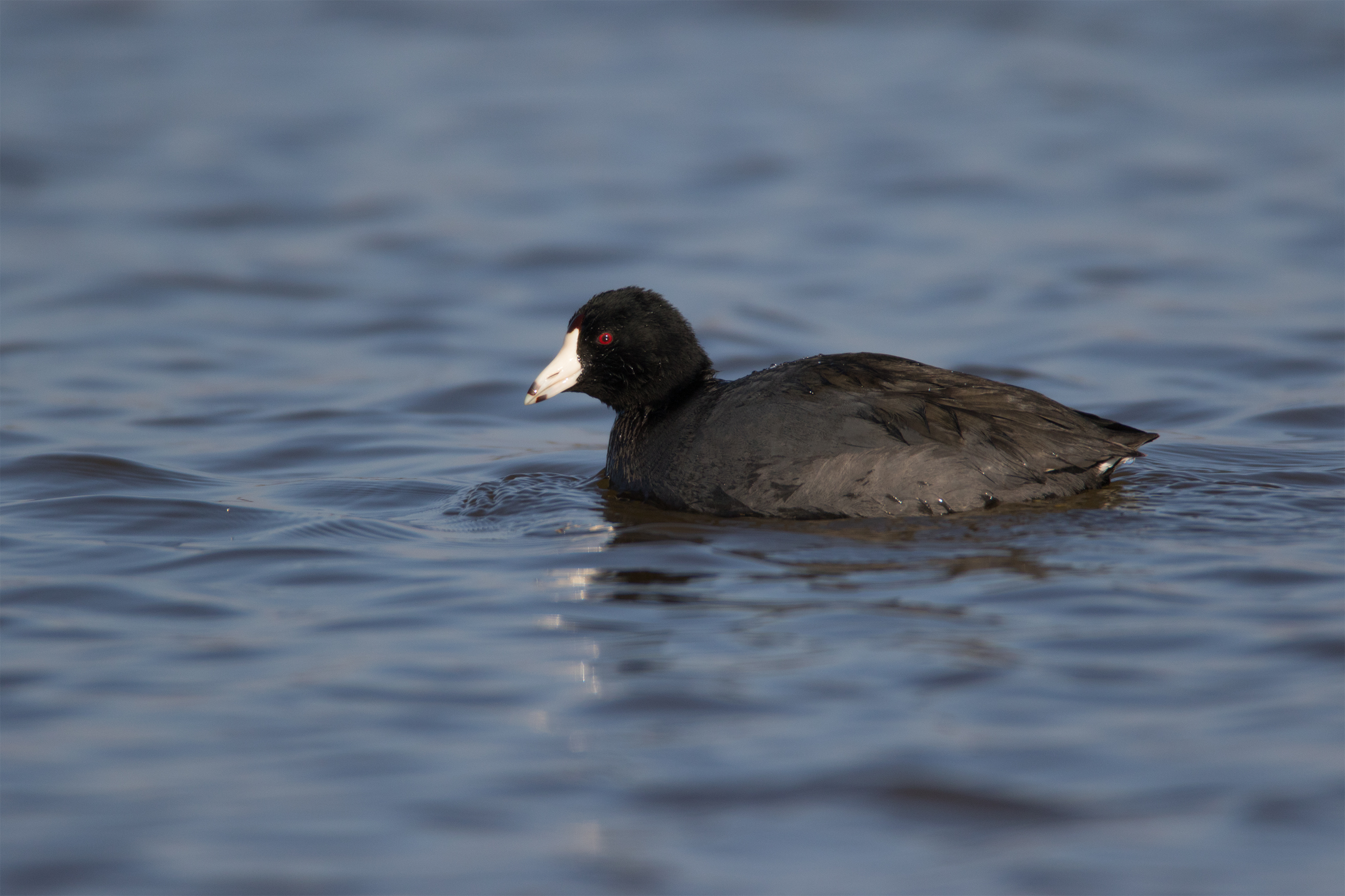 AMERICAN COOT - Taylor County Tx