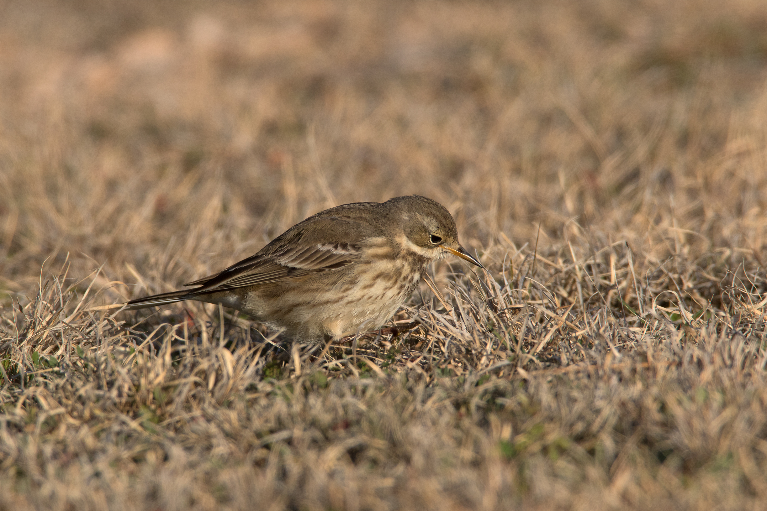 AMERICAN PIPIT - Taylor County Tx