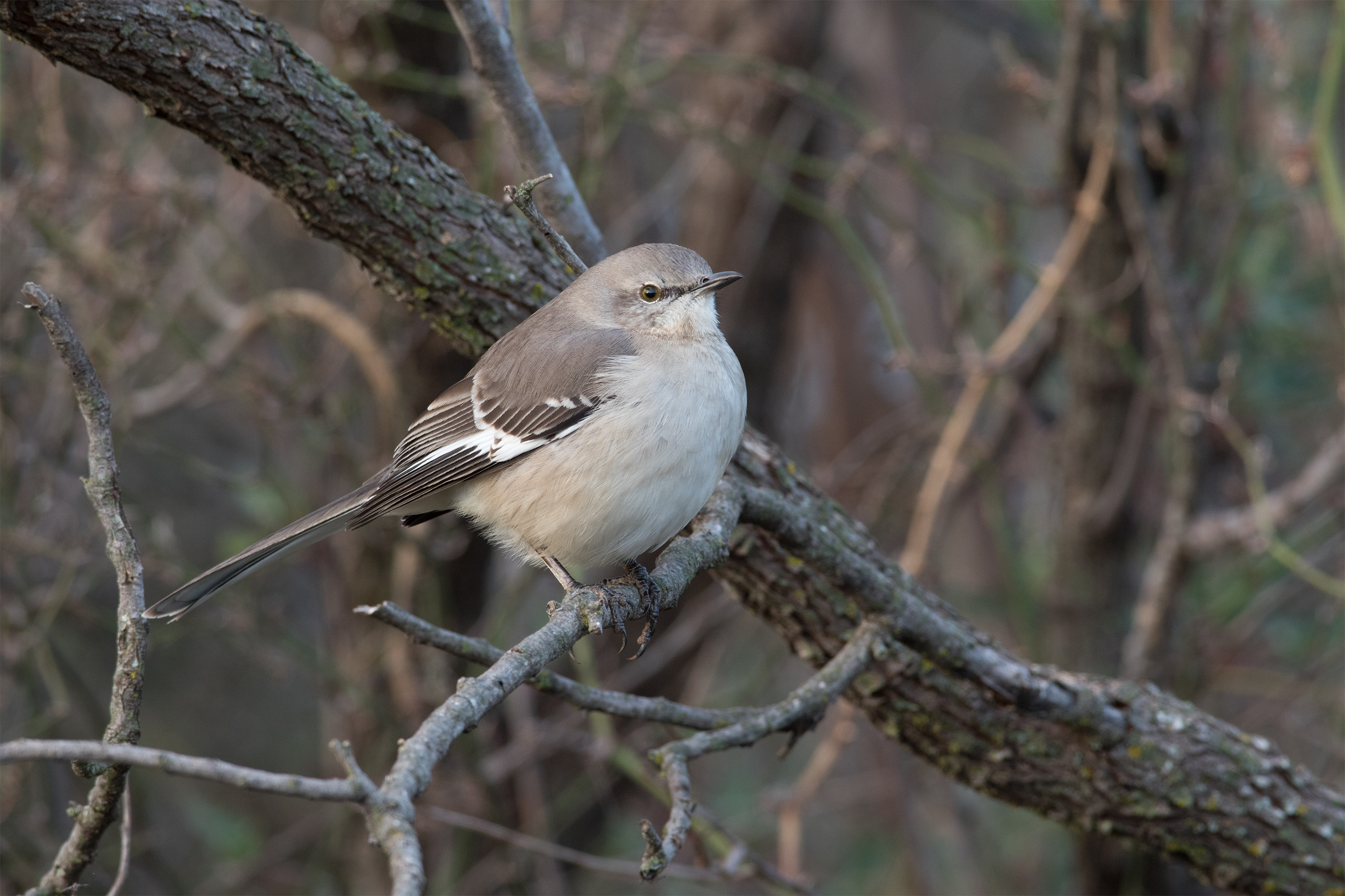 NORTHERN MOCKINGBIRD - Taylor County Tx