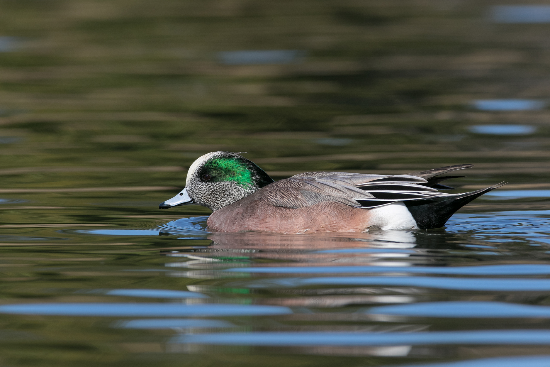AMERICAN WIGEON - Dallas County Tx