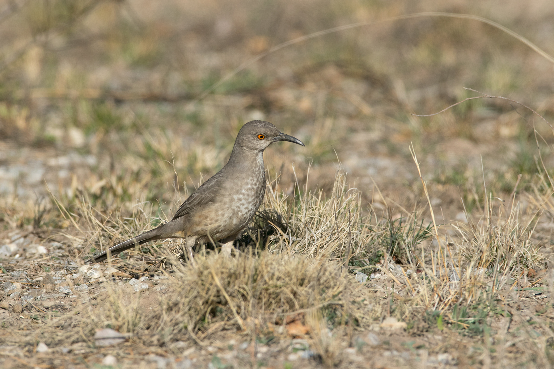 CURVE-BILLED THRASHER - Tom Green County Tx