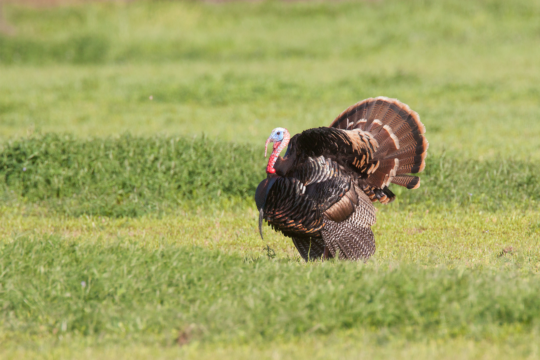 WILD TURKEY - Grayson County Tx
