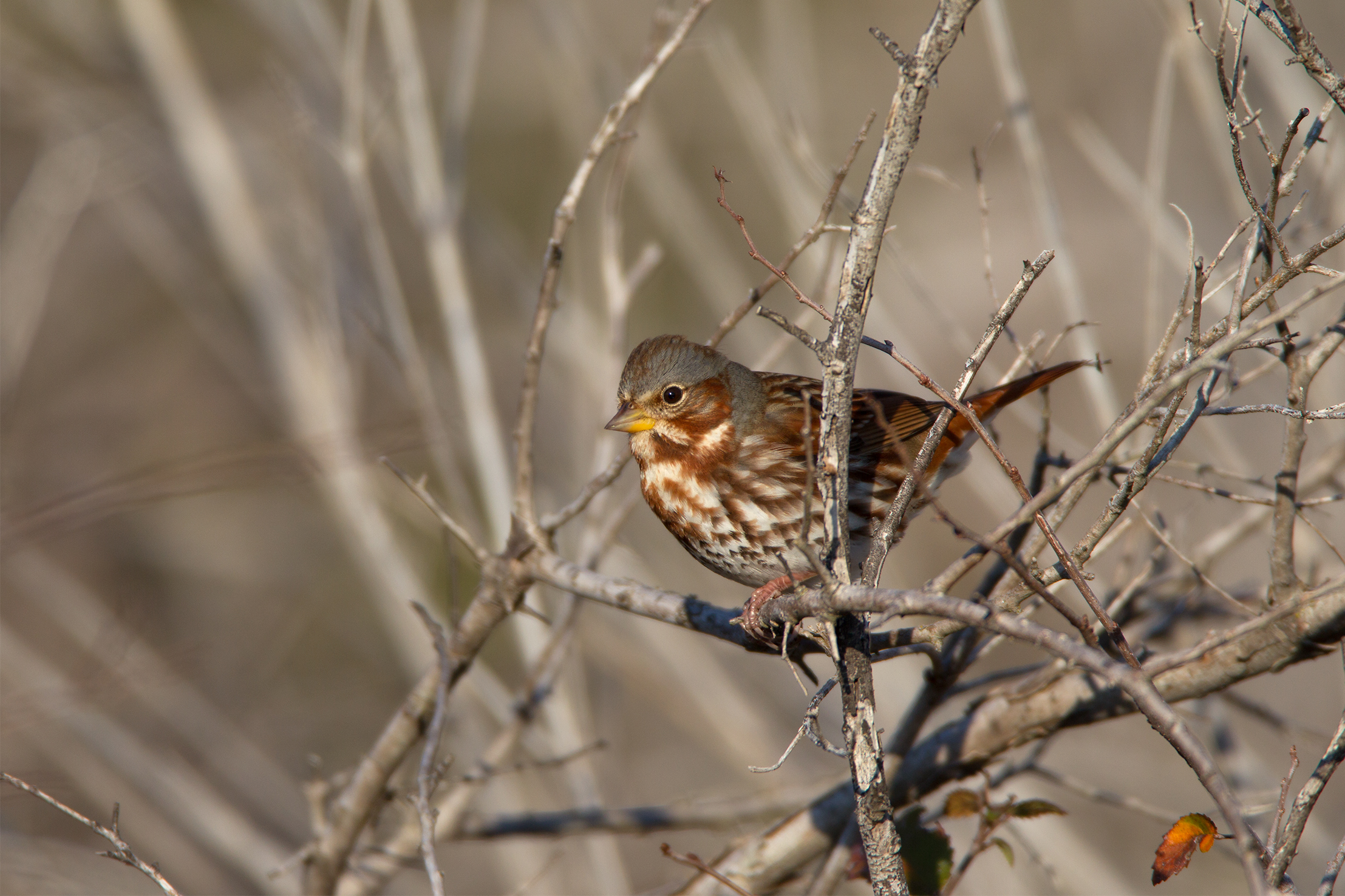 FOX SPARROW - Grayson County Tx