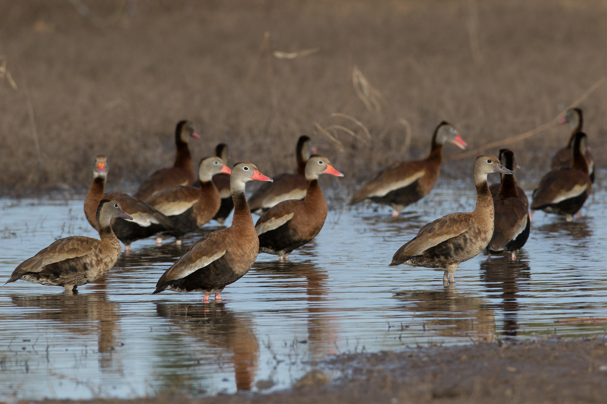 BLACK-BELLIED WHISTLING-DUCK - Taylor County Tx