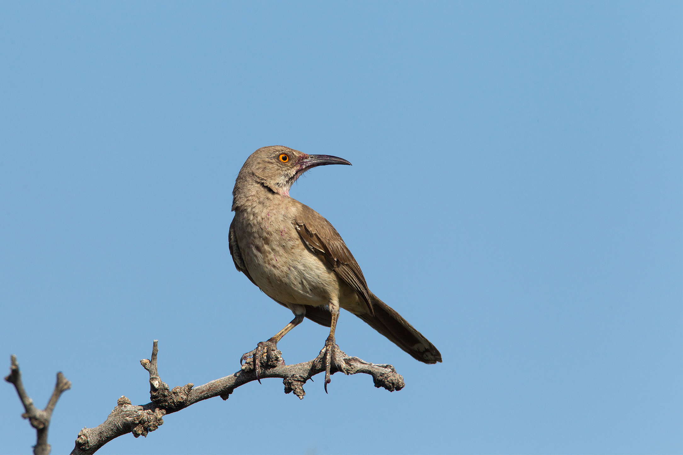 CURVE-BILLED THRASHER - Brewster County Tx