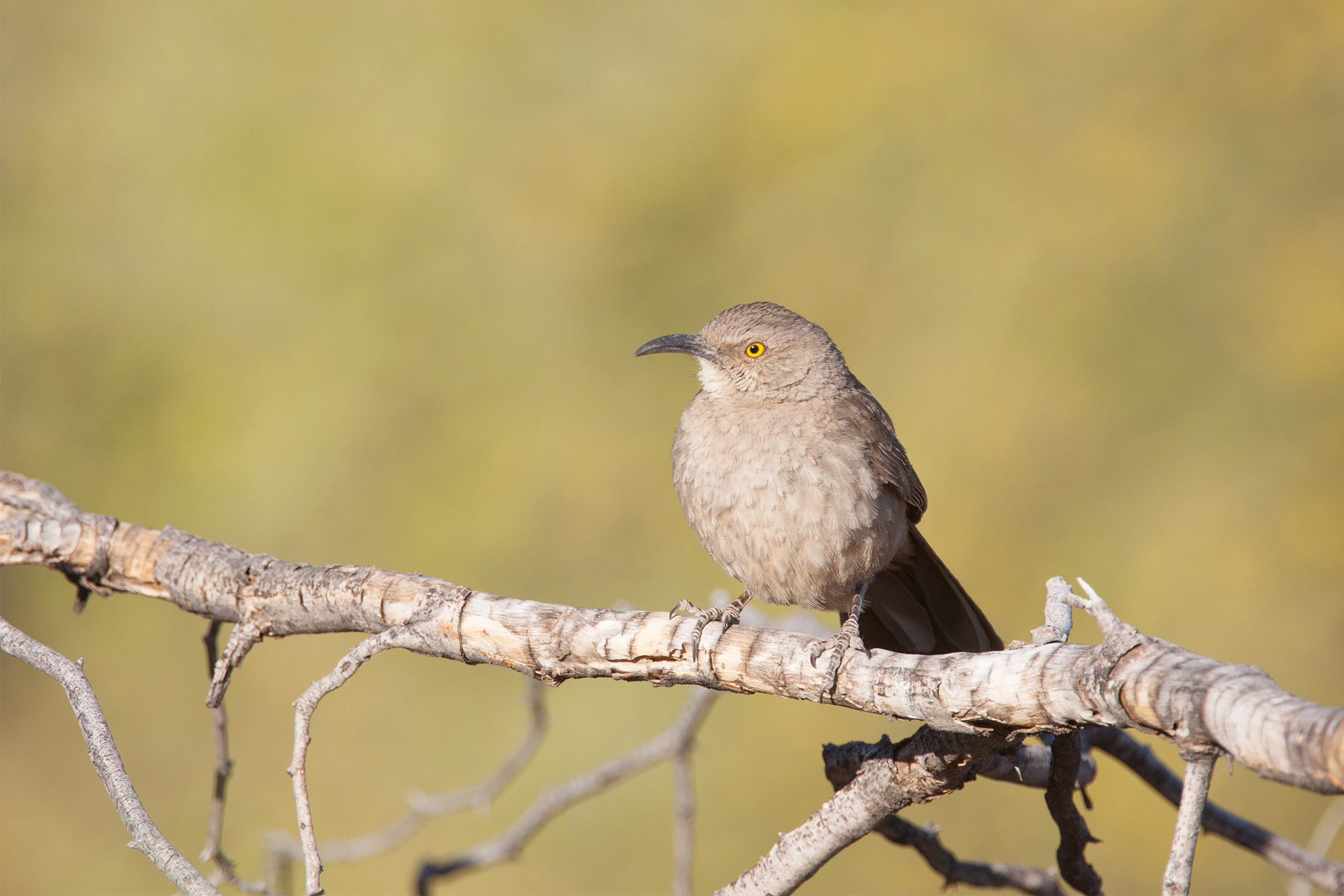 CURVE-BILLED THRASHER - Arizona