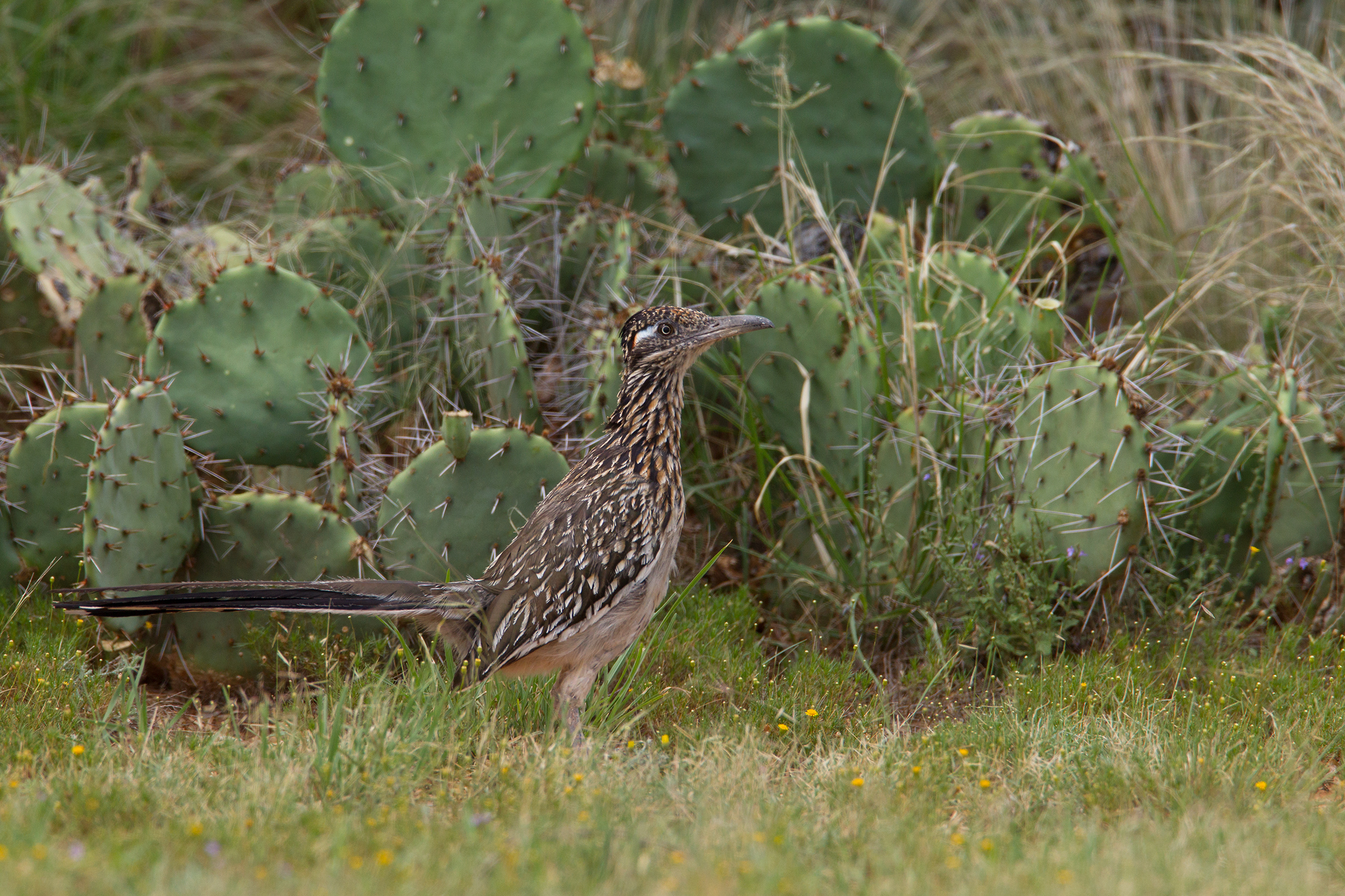 GREATER ROADRUNNER - Mitchell County Tx