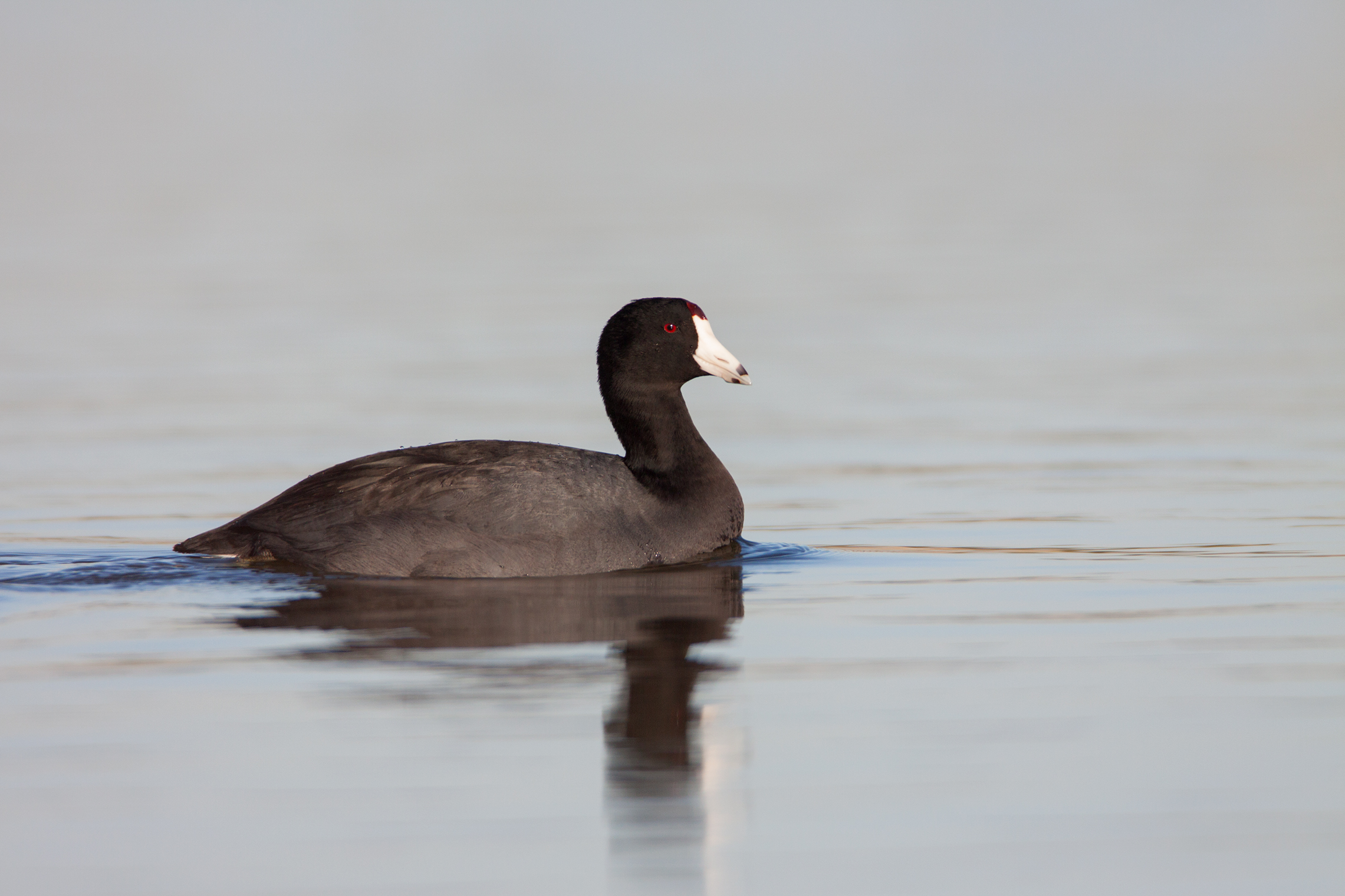 AMERICAN COOT - Dallas County Tx
