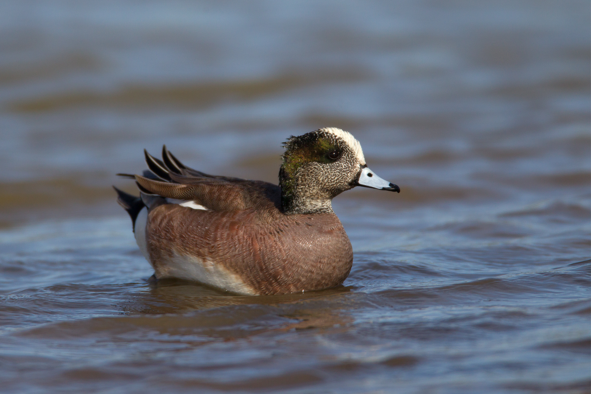 AMERICAN WIGEON - Taylor County Tx