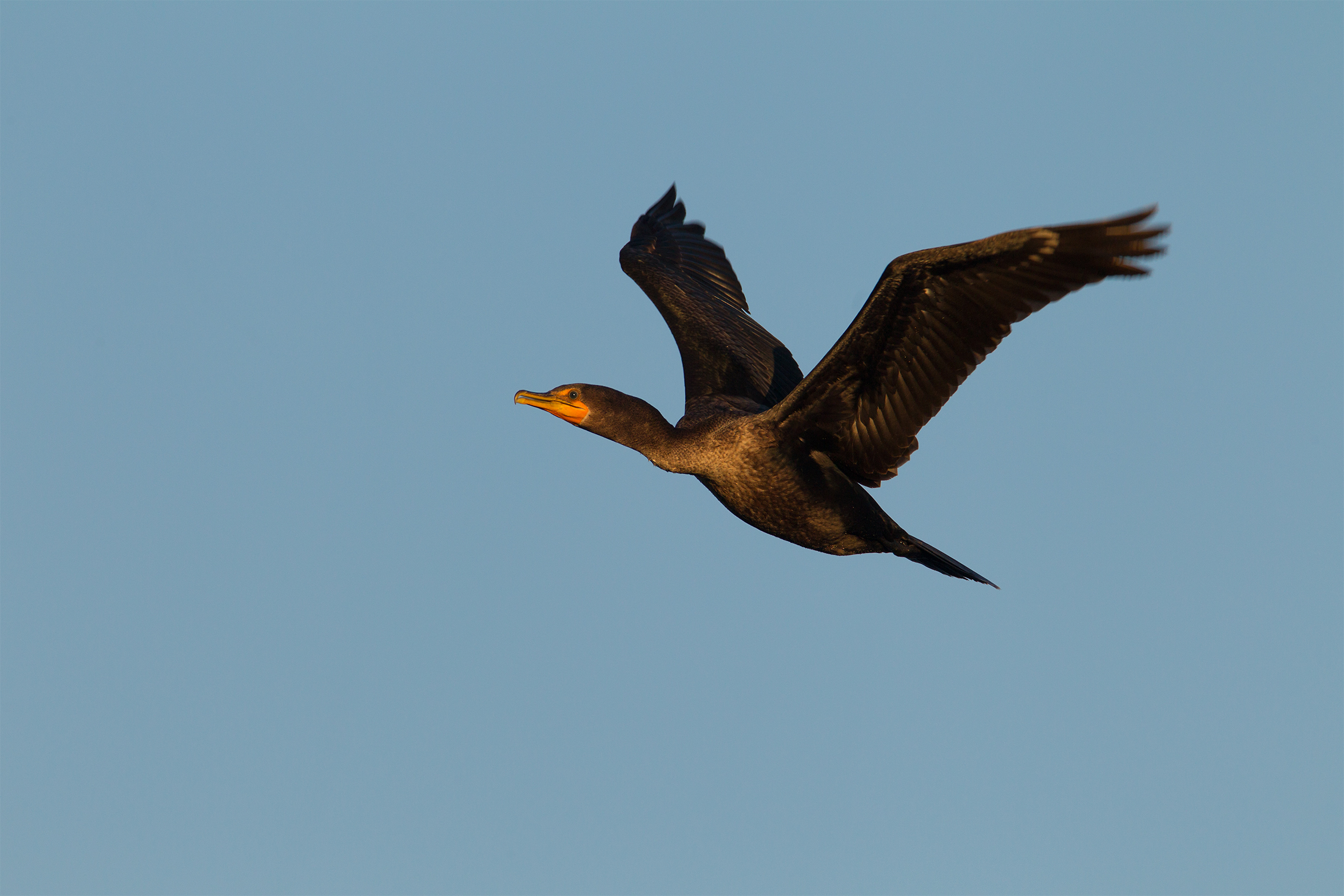 DOUBLE-CRESTED CORMORANT - Taylor County Tx