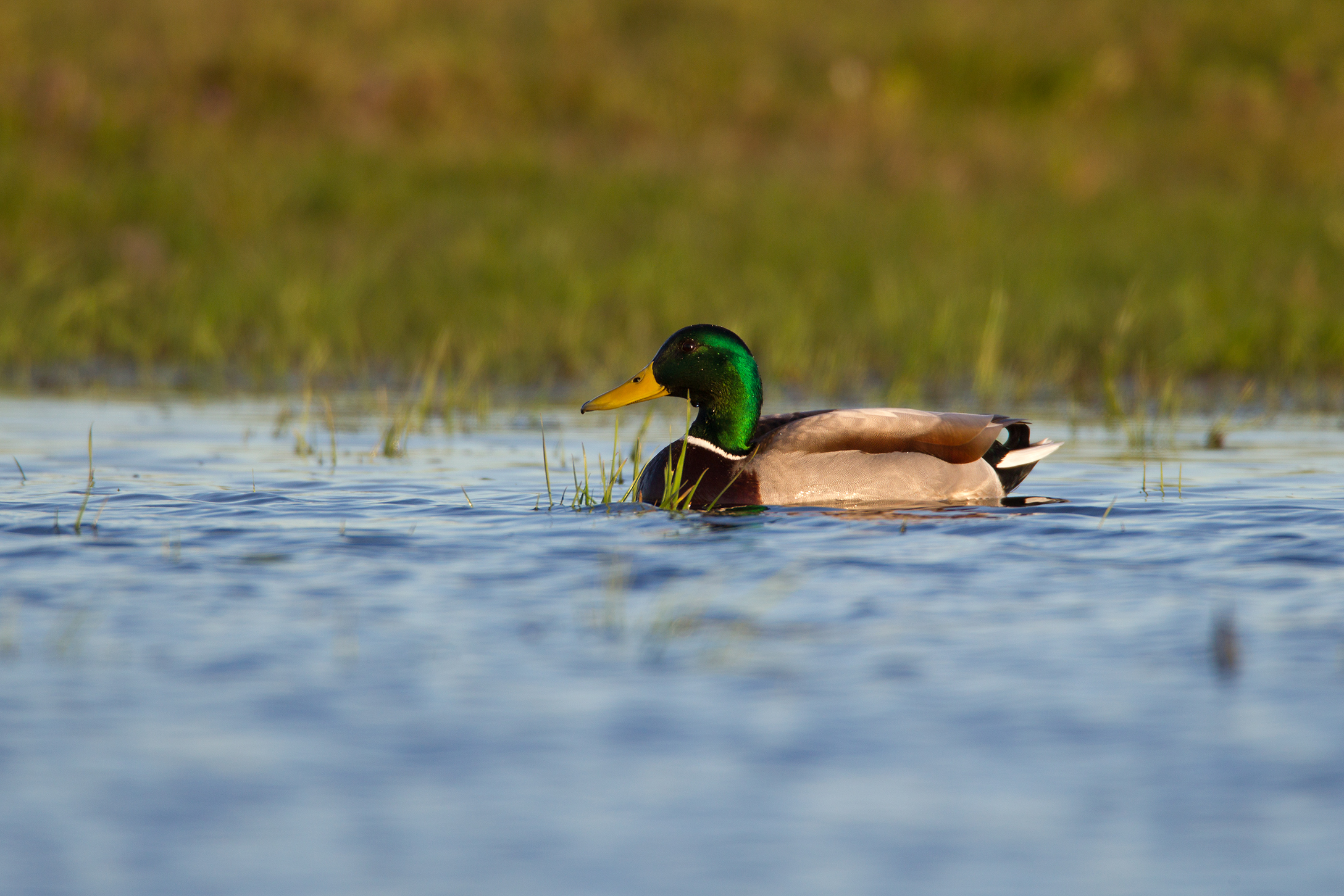 MALLARD - Rockwall County Tx