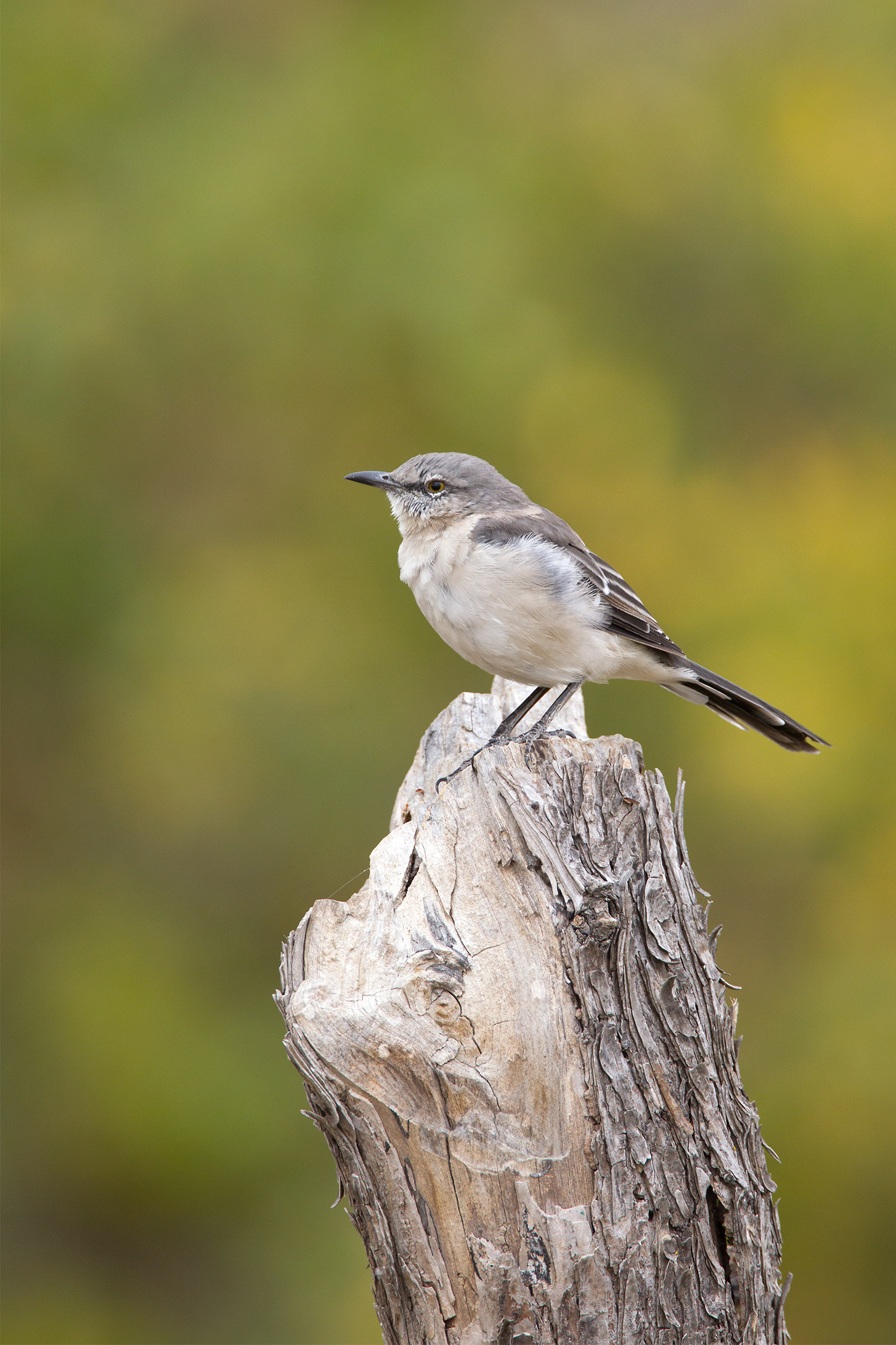 NORTHERN MOCKINGBIRD - Grayson County Tx