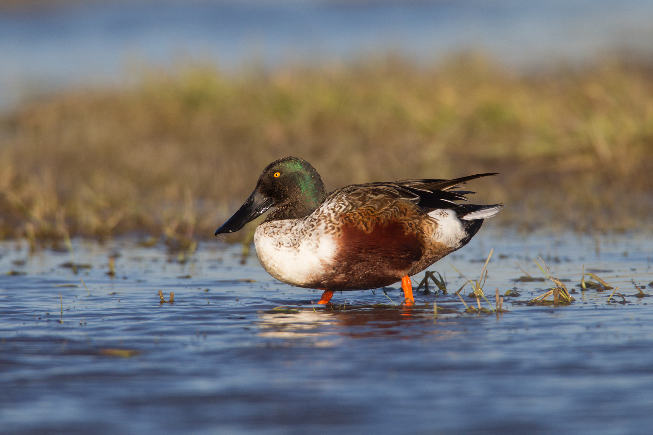 NORTHERN SHOVELER - Grayson County Tx