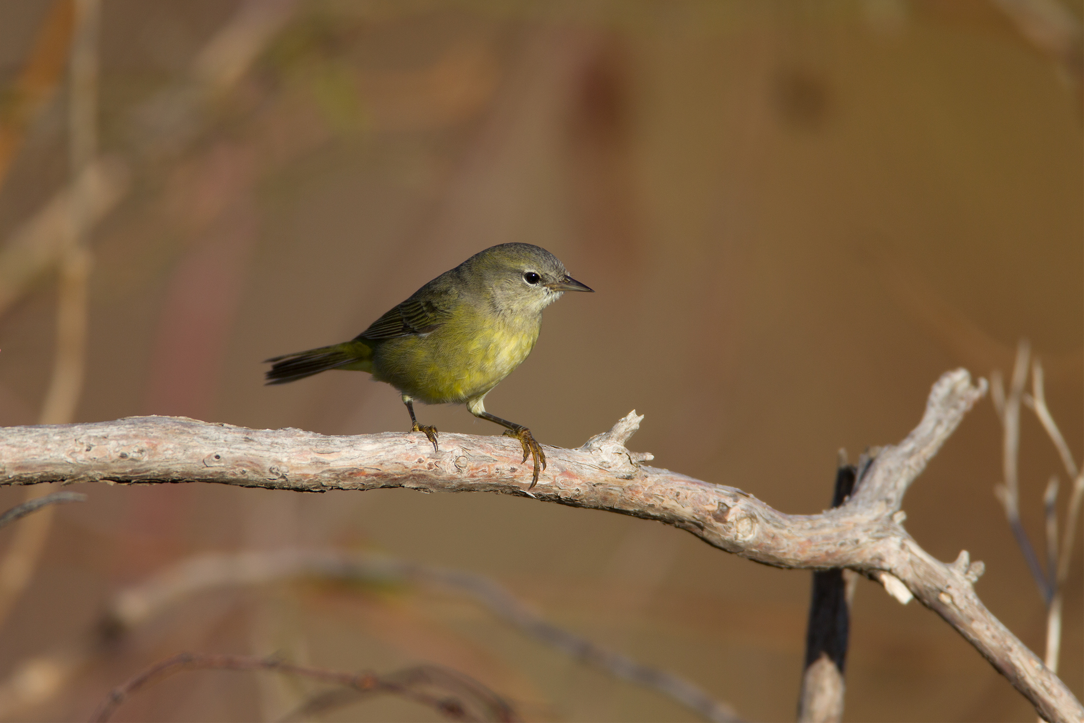 ORANGE-CROWNED WARBLER - Grayson County Tx
