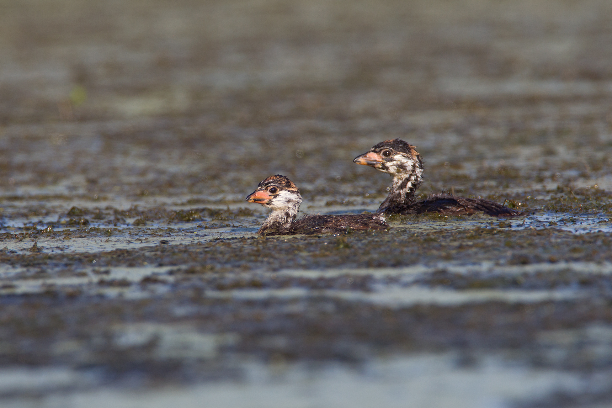 PIED-BILLED GREBE - Grayson County Tx