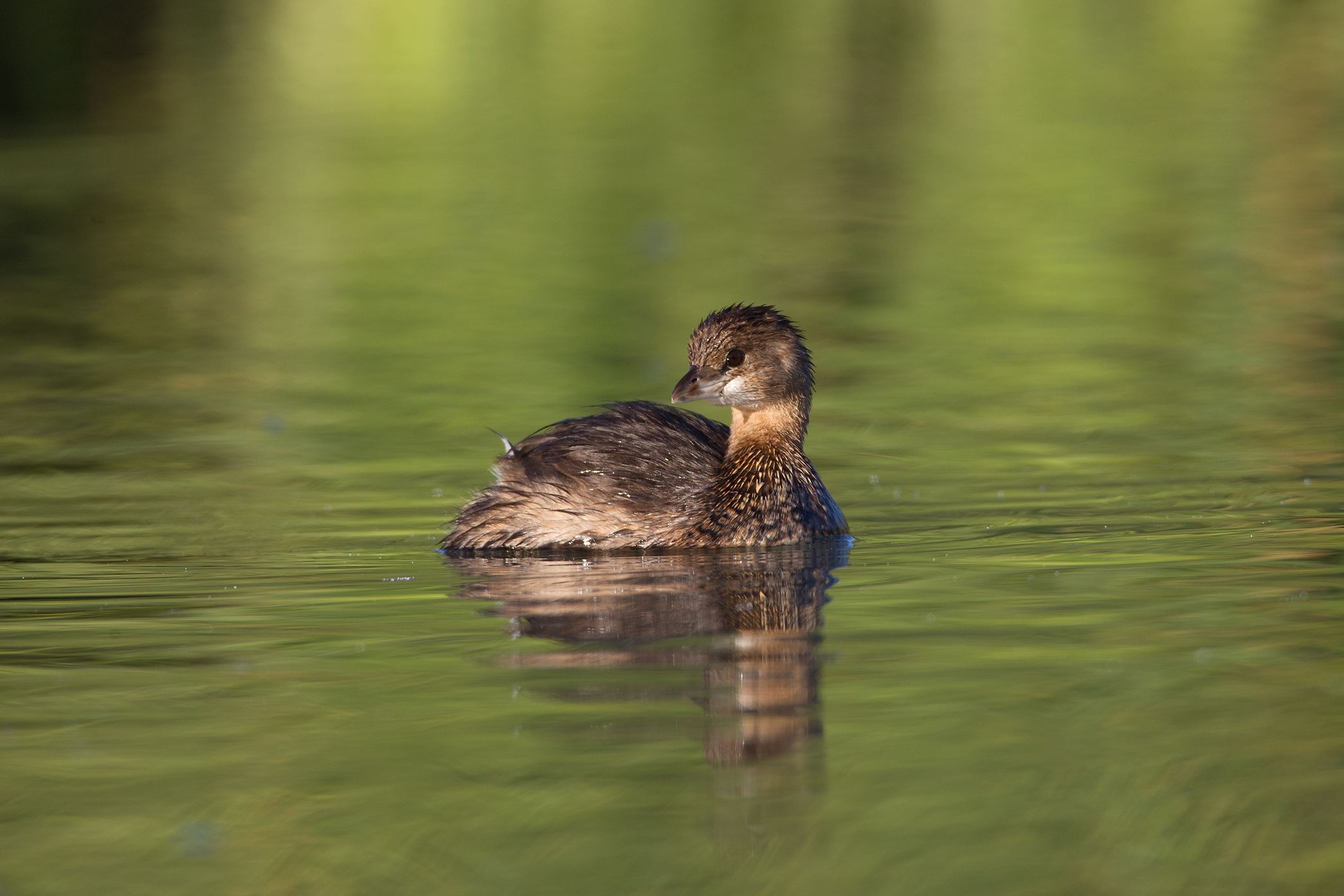 PIED-BILLED GREBE - Brewster County Tx
