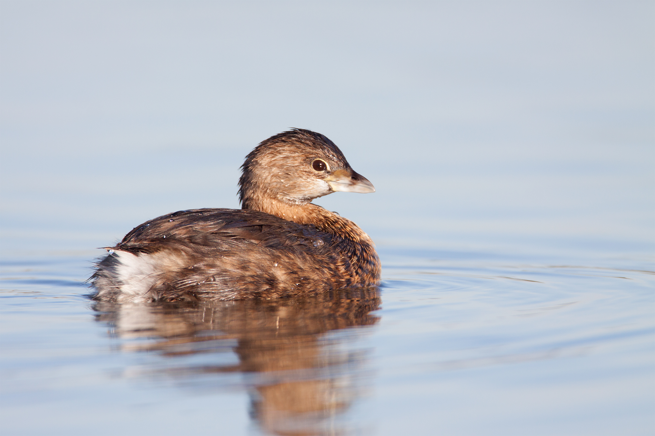 PIED-BILLED GREBE - Tarrant County Tx