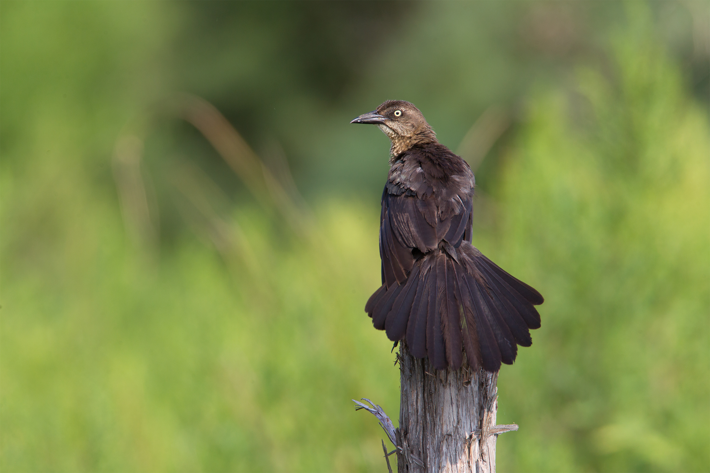 GREAT-TAILED GRACKLE - Galveston County Tx