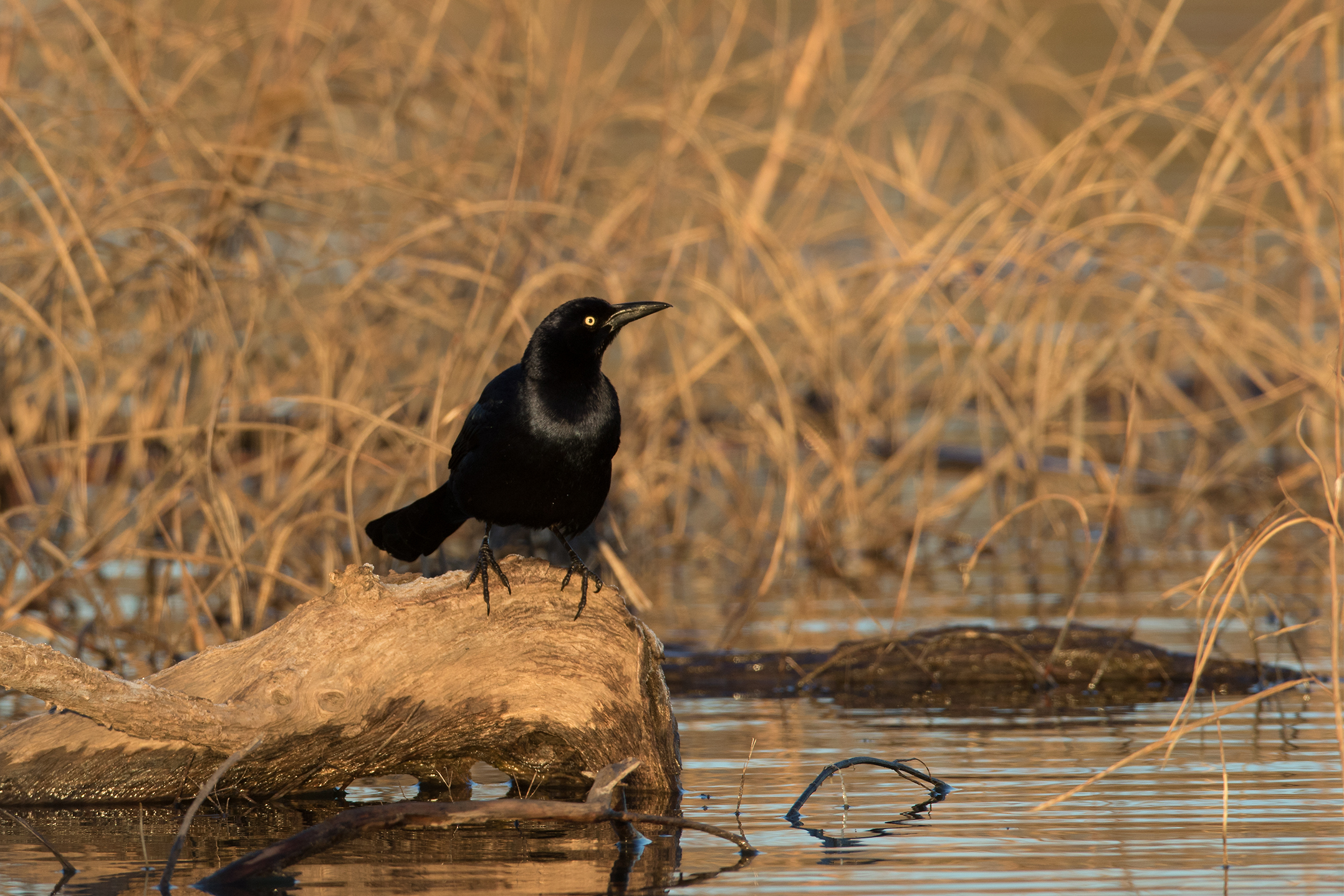 GREAT-TAILED GRACKLE - Taylor County Tx