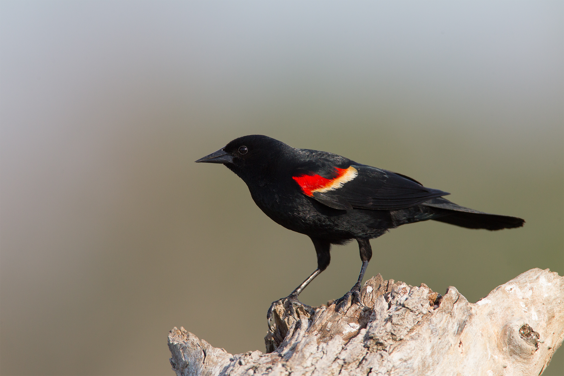 RED-WING BLACKBIRD - Grayson County Tx
